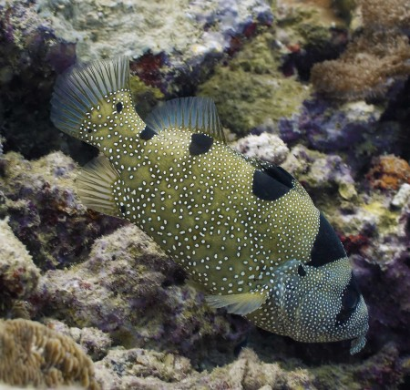 Spotted Soapfish (Pogonoperca punctata) at Planet Rock