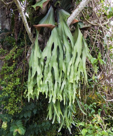 Staghorn Fern on Nob Nob Mountain