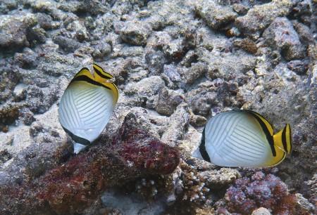 Vagabond Butterflyfish (Chaetodon vagabundus)