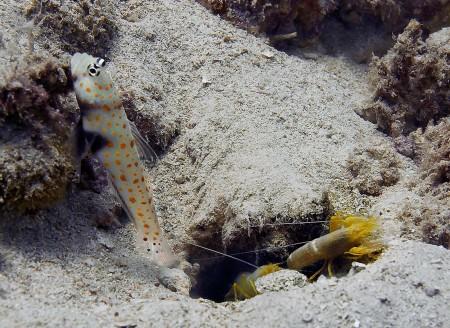 Spotted Shrimpgoby (Amblyeleotris guttata) with shrimps Alpheus ochrostriatus