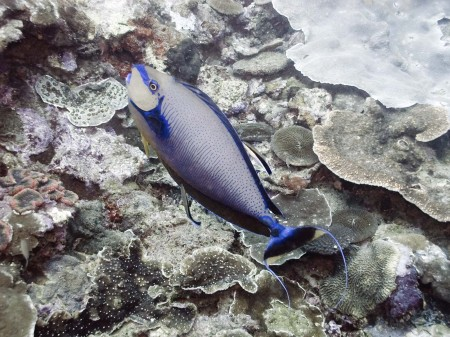 Bignose Unicornfish (Naso vlamingii)