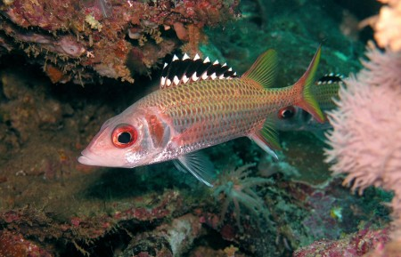Blackfin Squirrelfish (Neoniphon opercularis)