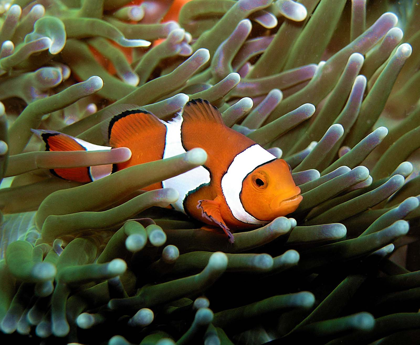 Neoniphon opercularis madang ples bilong mi for Clown fish for sale