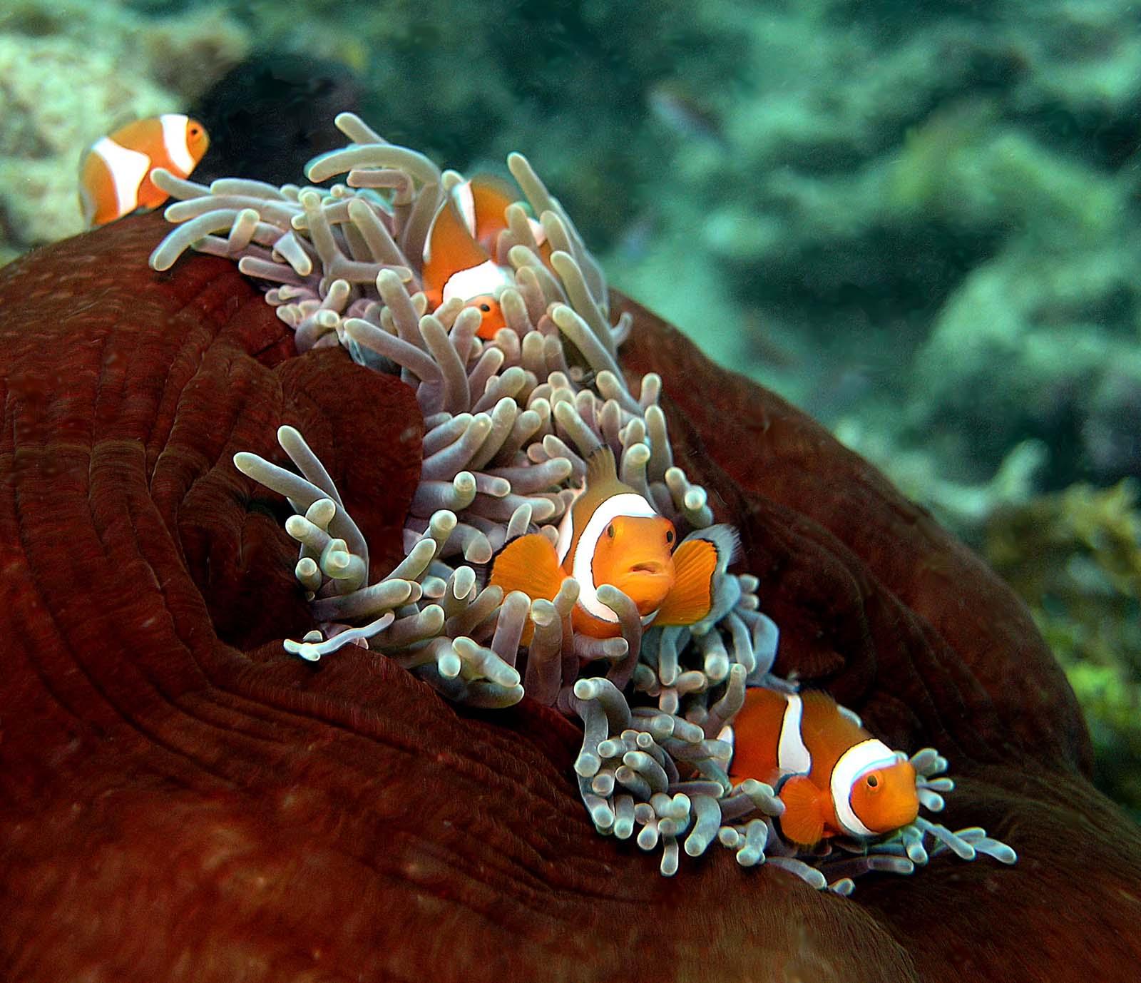 Ocellaris clownfish anemone - photo#22