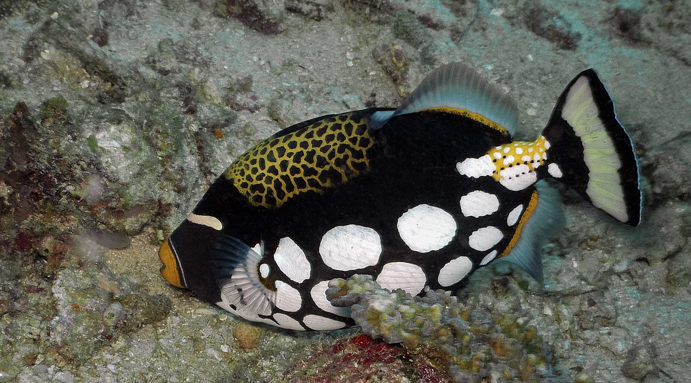 The Clown Triggerfish (Balistoides conspicillum) likes to stay just far ...