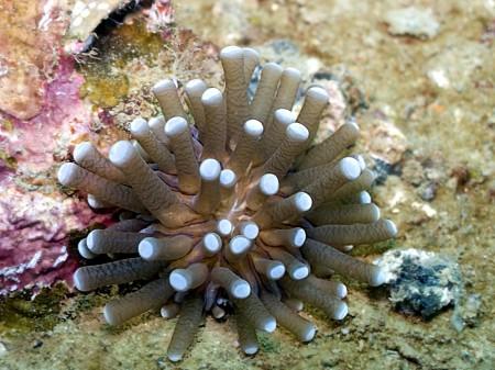 Coral - Heliofungia actiniformis ?