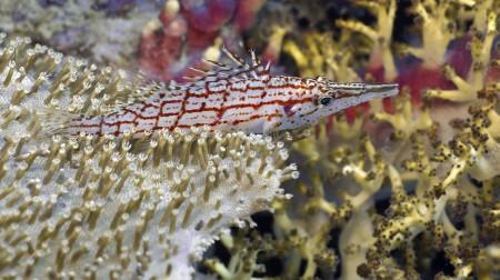 Longnose Hawkfish (Oxycirrhites typus) [flash] - Jan Messersmith