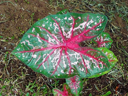 Colourful leaf at Nob Nog Mountain