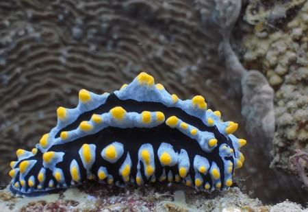 Nudibranch - Phyllidiella pustulosa (natural light)