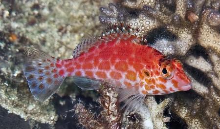 Pixy Hawkfish [red variation] (Cirrhititichthys oxycephalus)