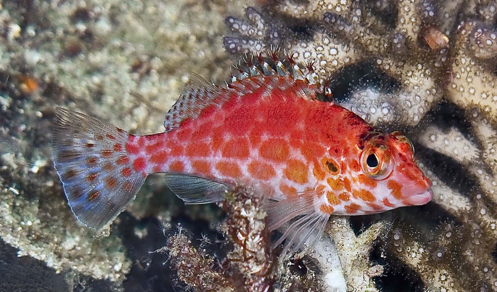 Pixy hawkfish madang ples bilong mi for Red saltwater fish