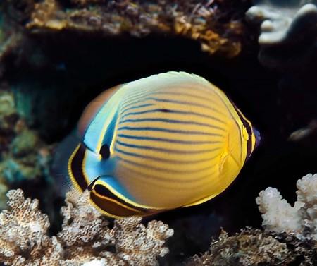 Redfin Butterflyfish (Chaetodon lunulatus)
