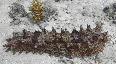 Sea Cucumber - Thelenota rubralineata