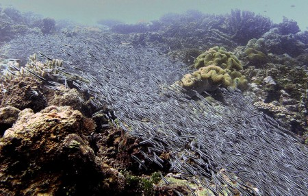 A river of Striped Catfish (Plotosus lineatus)