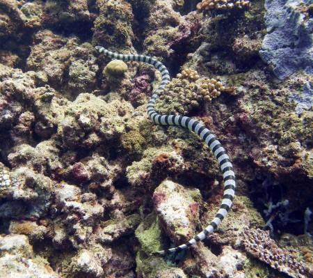 Banded Sea Krait - Laticauda colubrina