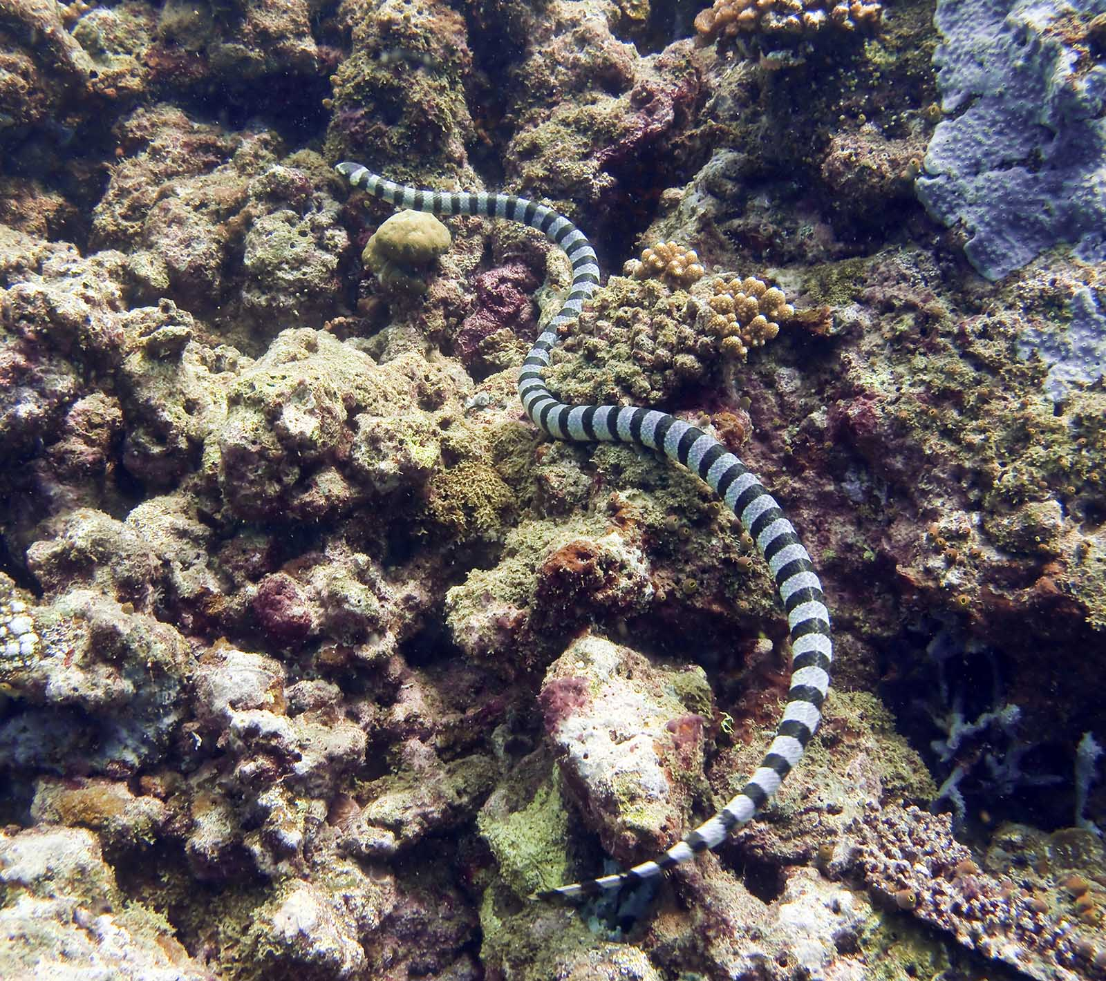 Banded Sea Snake Bite Banded sea krait laticaudaBanded Sea Snake Bite