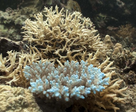 Coral - Acropora cerealis (foreground), Seriatopora hystrix (background)