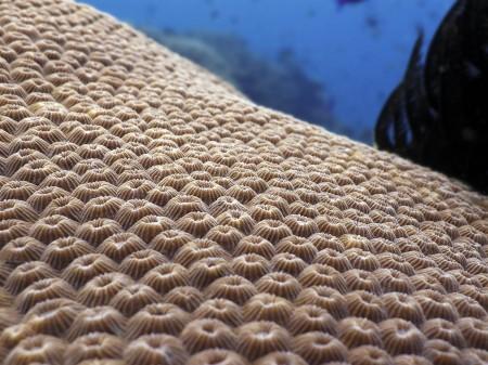 Coral (Diploastrea heliopora)