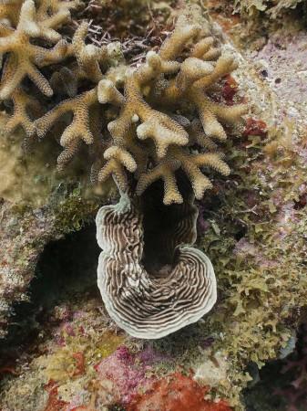 Coral (Pachyseris speciosa)