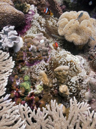 Coral Reef Community with Tomato Anemonefish (Amphiprion frenatus) [female]