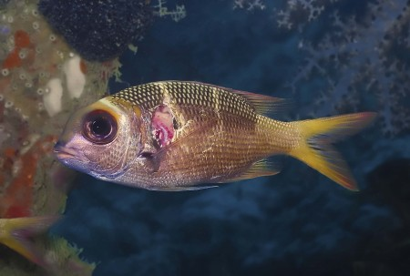 Humpnose Bigeye Bream (Monotaxis grandoculis) with injury