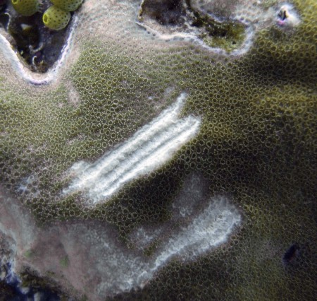 Parrotfish Bite Marks on Coral