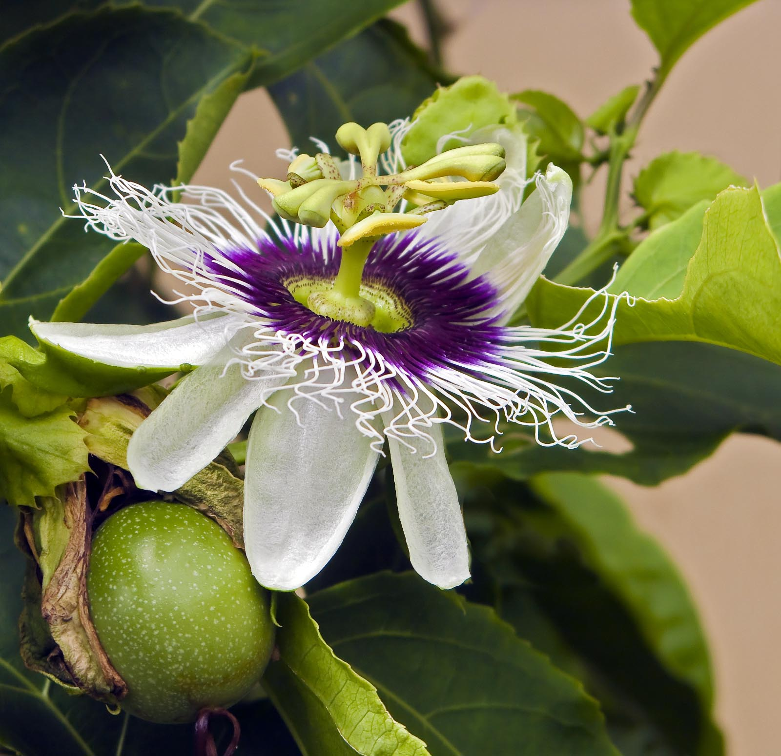 The gallery for Passion Fruit Flowers