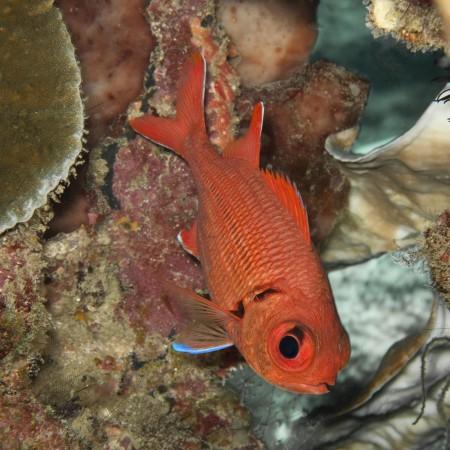 Scarlet Soldierfish - Myripristis pralinia