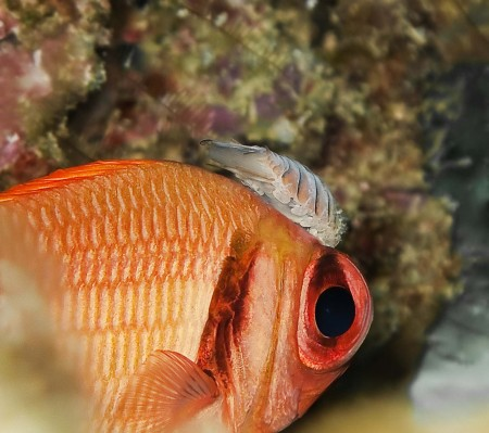 Scarlet Soldierfish - Myripristis pralinia with isopod parasite Anilocra laticaudata