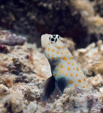 Spotted Shrimpgoby - Amblyeleotris guttata