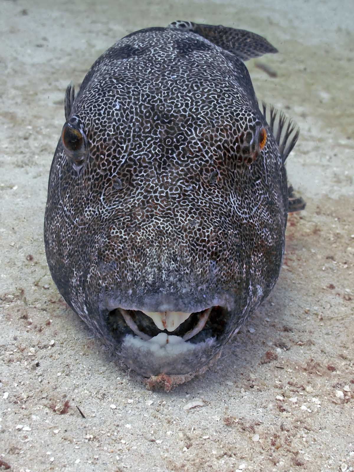 Eat a pufferfish and die madang ples bilong mi for A puffer fish
