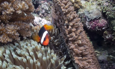 Tomato Anemonefish [female] (Amphiprion frenatus)
