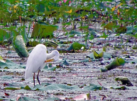 Yellowbilled Egret Stock Images RoyaltyFree Images