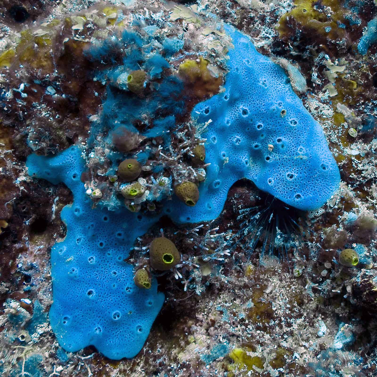 Encrusting Sponge This is a beautiful Blue