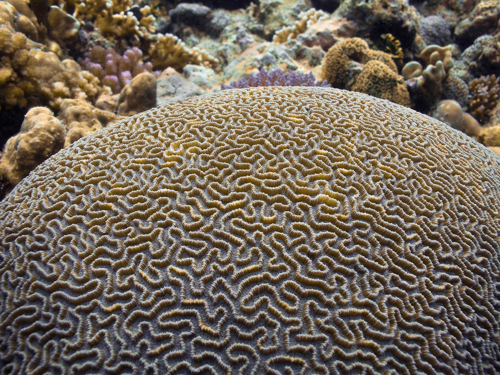 brain coral drawing - photo #28