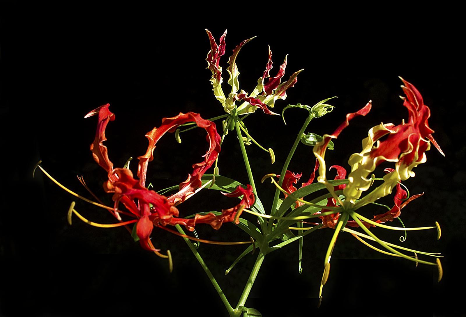 Red Bell Flower