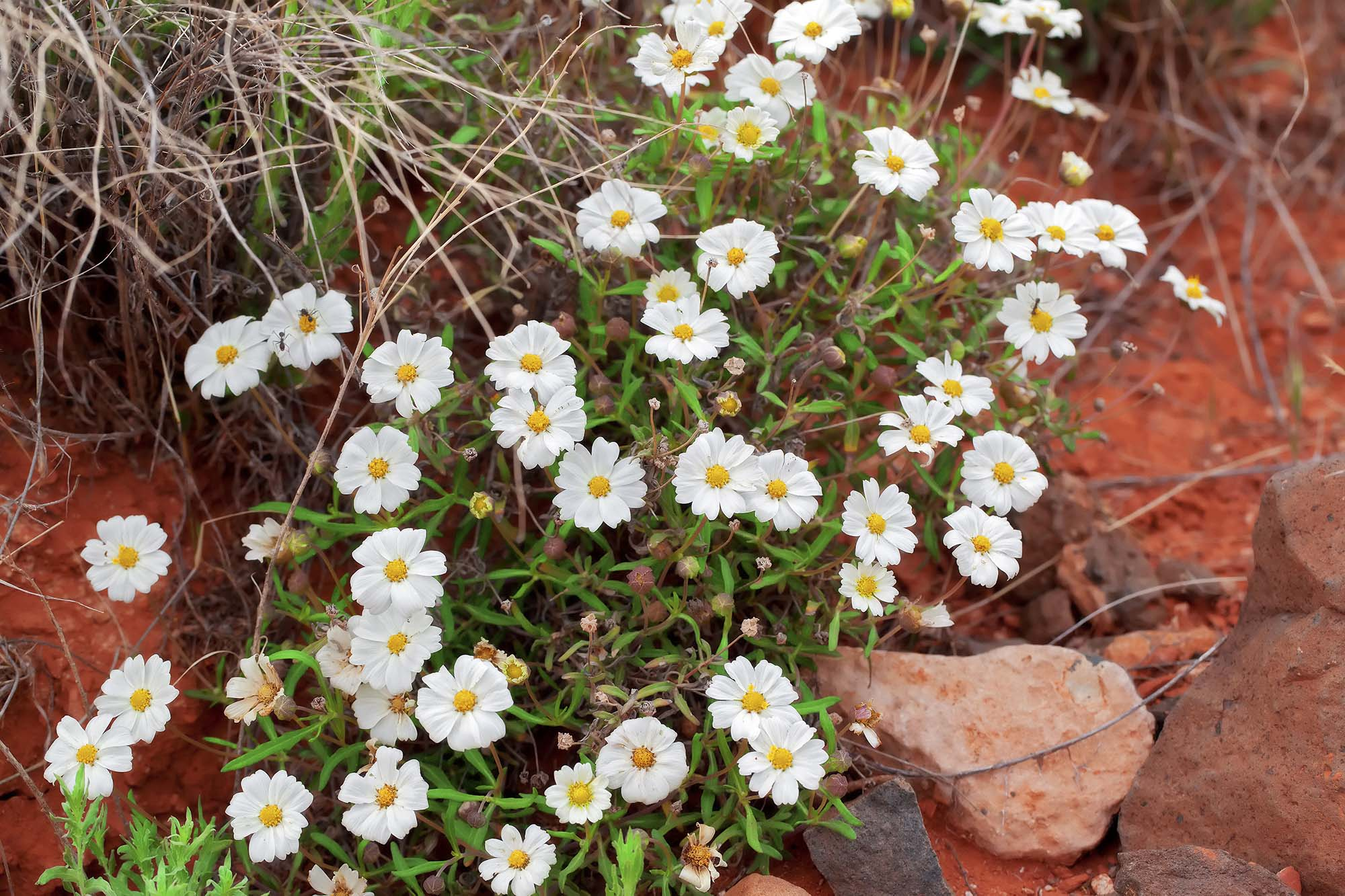 Daisy madang ples bilong mi popping up everywhere in the desert are a variety of tiny blossoms which appear to me to be daisies of some kind im hopelessly uninformed about the local mightylinksfo
