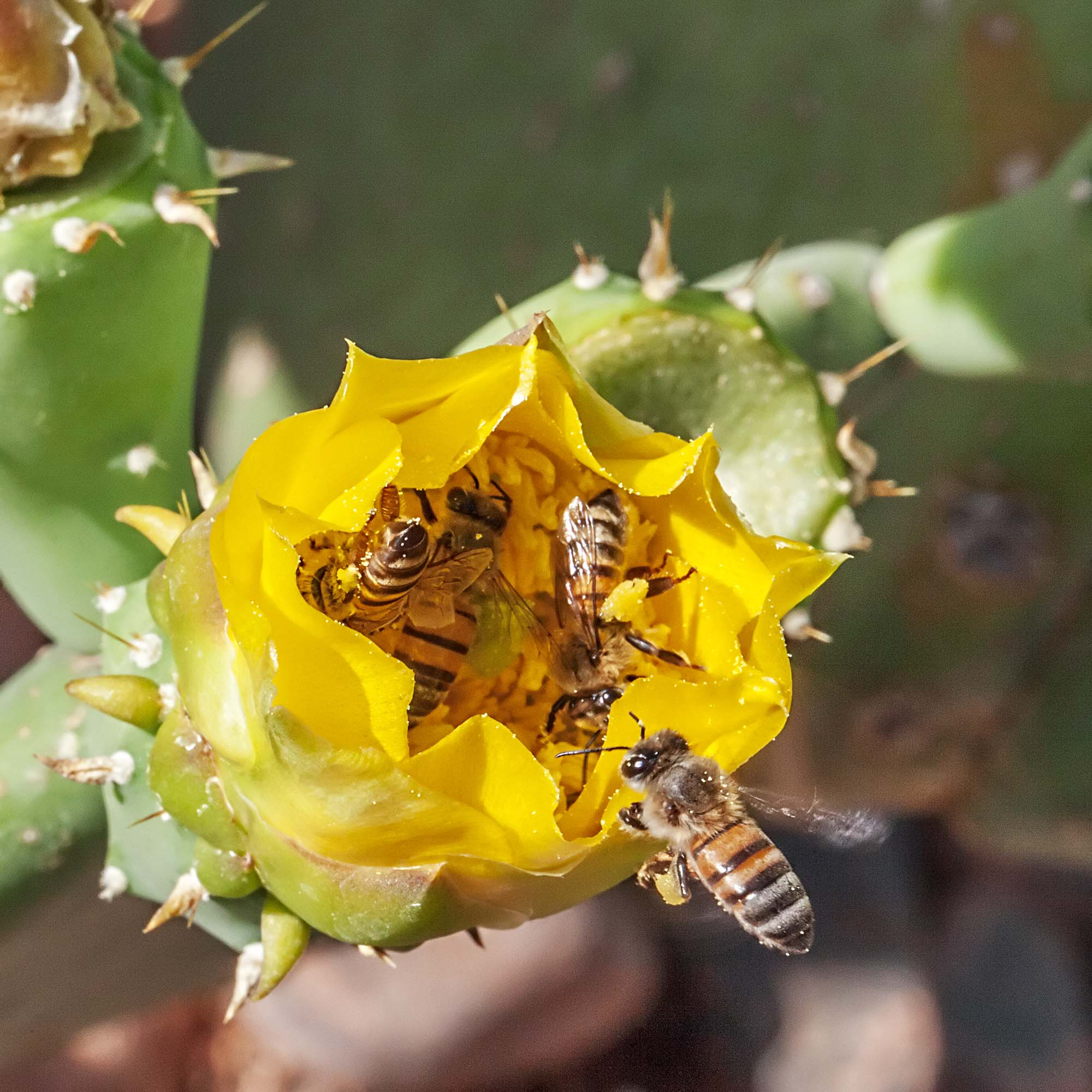 Bee Madang Ples Bilong Mi