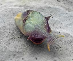 Yellowmargin Triggerfish - swimming habit